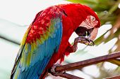 picture of cockatoos  - Red Macaw or Ara cockatoos parrot siting on metal perch in zoo - JPG