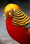 pic of pheasant  - Magnificent male golden pheasant bird with beautiful feathers - JPG