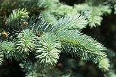 foto of blue spruce  - Blue spruce branches on a green background - JPG