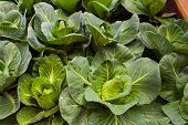 image of nutrients  - View of nutrient cabbage plantation in the farm - JPG