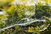 foto of cobweb  - Morning cobweb - JPG
