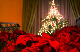 image of poinsettia  - A well decorated Christmas tree with Christmas lights on the top of the stairs in the background - JPG