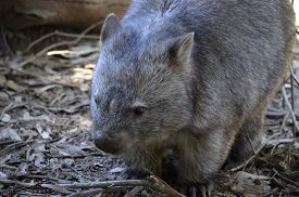 picture of wombat  - this is a close up of a common wombat - JPG