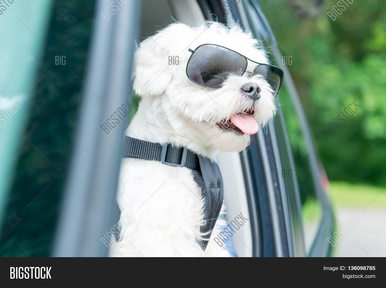 Small Dog Maltese Car Open Window Image Photo Bigstock