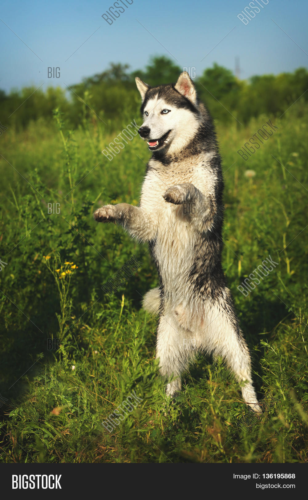 dog breed siberian husky standing image u0026 photo bigstock