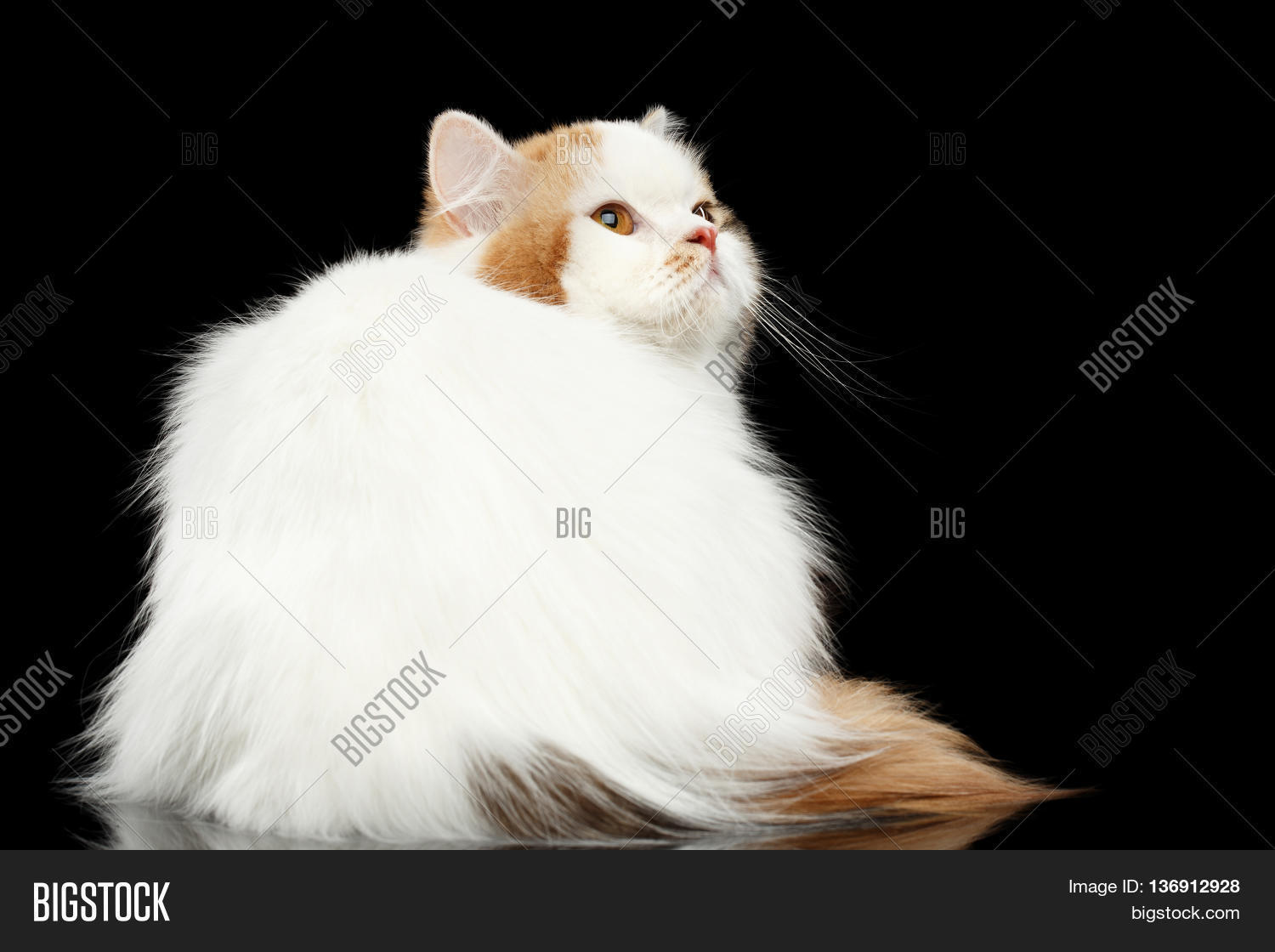 Color of cats fur - Mad Scottish Highland Straight Cat White With Red Color Of Fur Sitting And Angry