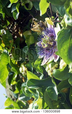 Reveal lilac flower Passiflora on green hedges