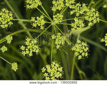Flowers and buds on blooming Siberian Hogweed Heracleum sibiricum macro selective focus shallow DOF
