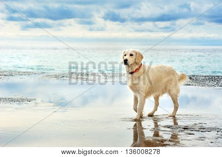 young white golden retriever stand waiting on the seafront