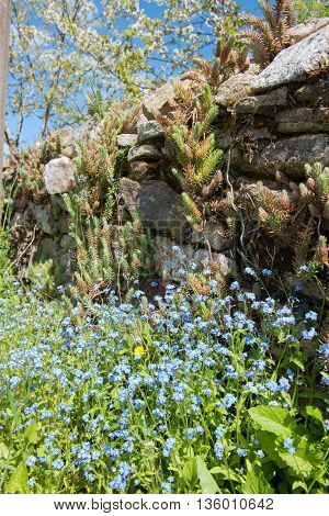 Blue forget-me-not with French stone wall