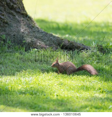 Brown squirrel at the ground