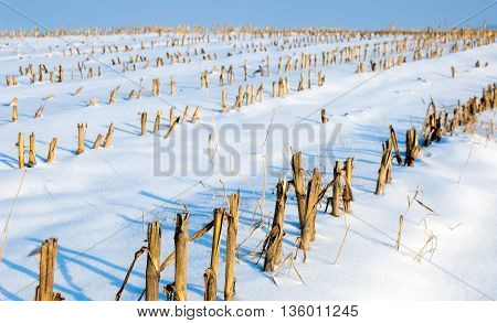 Closeup of harvested fodder maize in a sunny and snowy Dutch landscape.