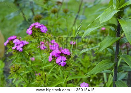 forest carnation flowers bloom beautiful pink flowers