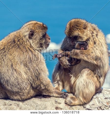 Barbary macaque in Gibraltar, Spain. Selective focus.