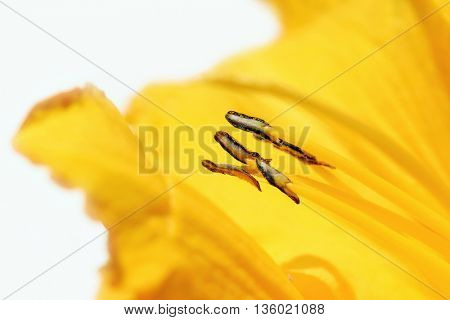 Lily macro background