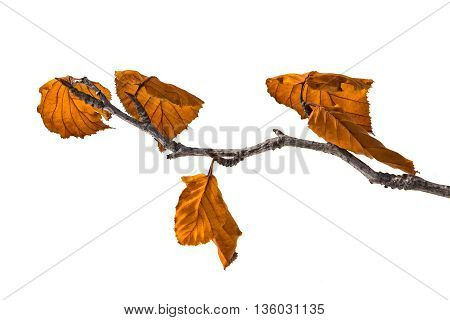 branch with yellow autumn leaves isolated on white background