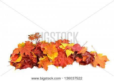 Colorful autumn maple leaves on a tree branch. Yellow autumn leaves background with copy space