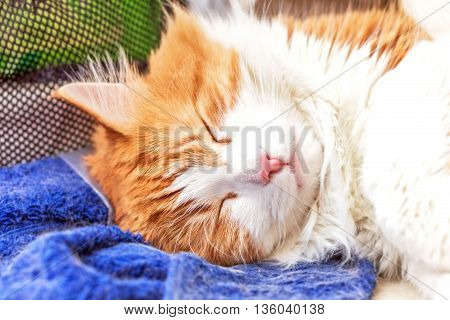 Nice adult sleeping red cat in relax