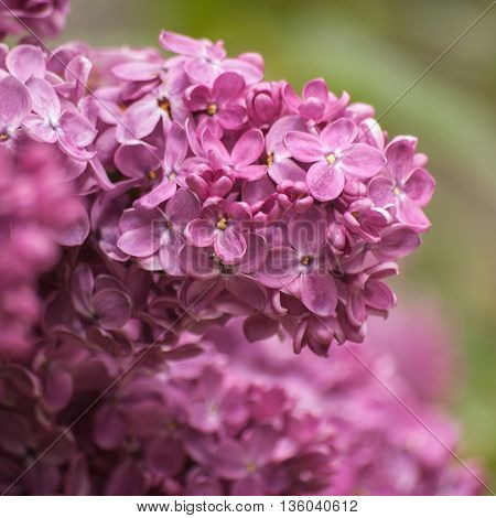 Branch of blossoming purple lilac. Floral natural background