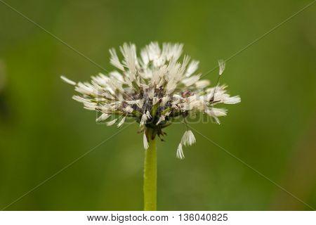 White wet fluffy dandelion after rain. Natural floral background.