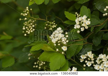 Floral natural background with branches of white spirea