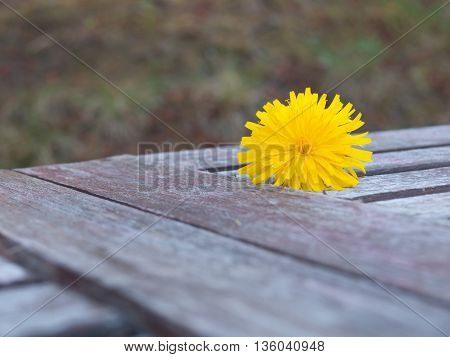 Single yellow Dandelion sitting on a old wooden table