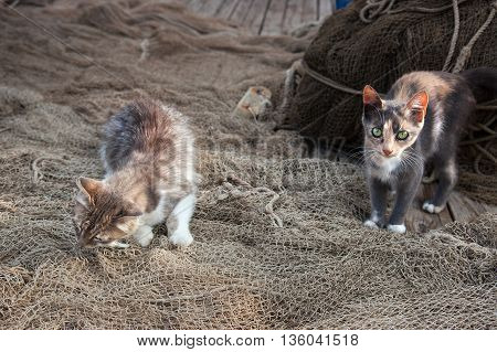 One kitten eats fish and the other kitty is stand in front on the fishing net.