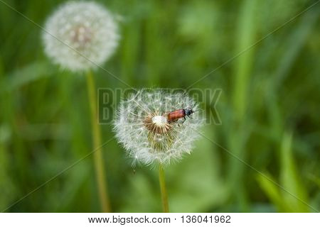 Bronze beetle on white fluffy dandelion. Natural background