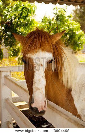 caballo marrón.