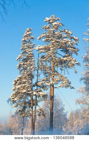Snowy Fir Trees Frosty Glow