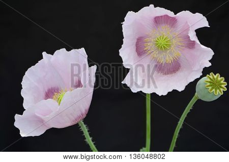 Bouquet of pale pink poppies on a black background, a congratulatory bouquet