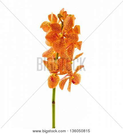 Orange orchid isolated on a white background