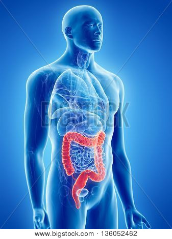 3d rendered, medically accurate illustration of the colon