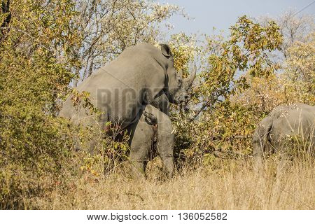 wild white rhinoceros mating in the bush, in Kruger Park