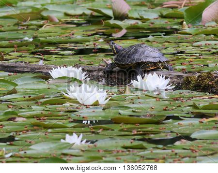 A Red-eared Slider Turtle with Water Lilies