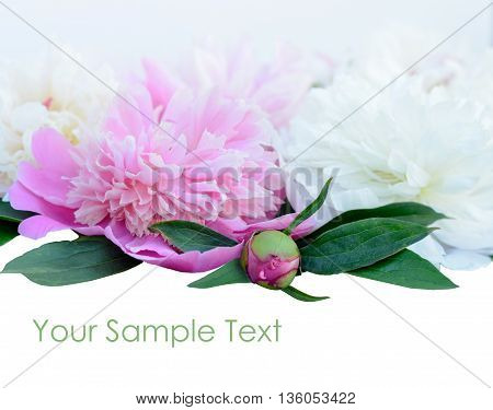 Pink peony flower on white background with copy space for greeting message. Mother's Day concept.