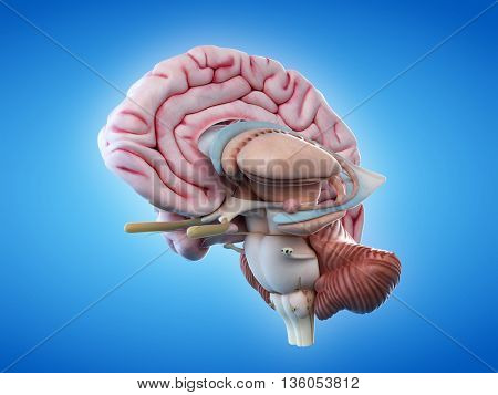 3d rendered, medically accurate illustration of the internal brain anatomy