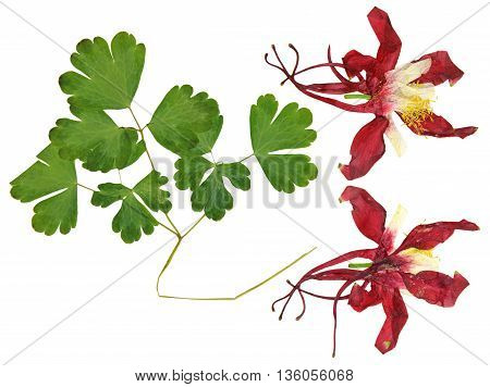 dry large red and white perspective delicate royal Aquilegia with pressed leaves petals isolated on scrapbook background blossom of Columbine flower
