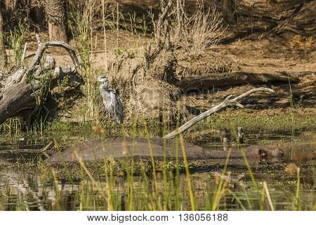 gray heron fishing in a pond and standing on the back of an hippopotamus, in Kruger Park