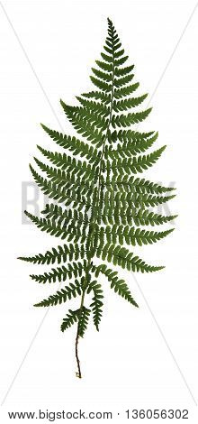 dry green pressed leaf of fern isolated pressed leaves on white background for scrapbook