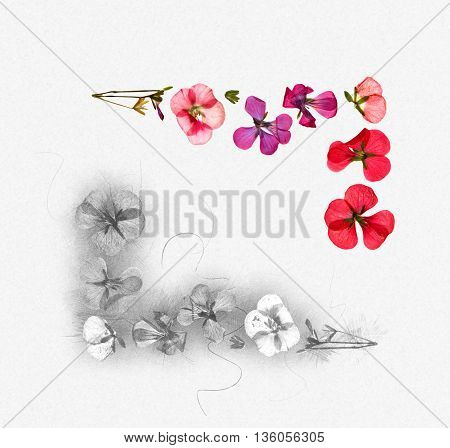 red pink brown geranium perspective dry delicate flowers and petals of pelargonium isolated on white background scrapbook pressed border edging sketch