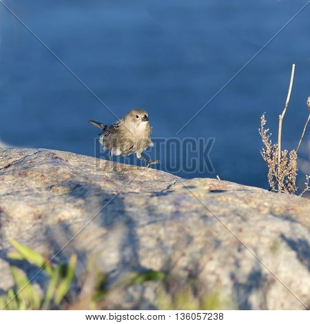 Sparrow moves briskly over a seaside boulder