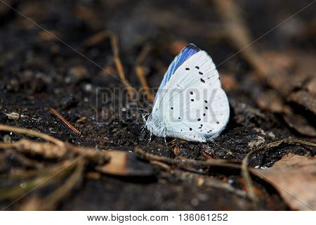 Blue butterfly sitting on a black charcoal in the forest.