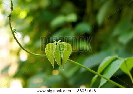 Small green leaf and vine on blurred background