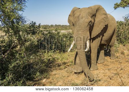 wild male african bush elephant, in Kruger park