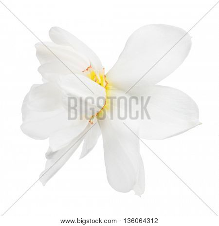 narcissus bloom isolated on white background