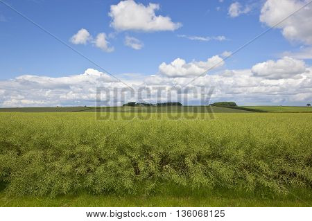 a ripening oil seed crop in the scenic yorkshire wolds under a blue cloudy sky in summer