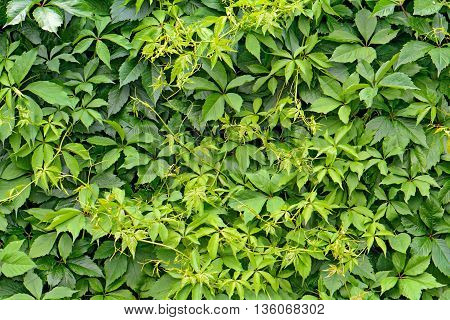 green hedge from the leaves of wild grapes