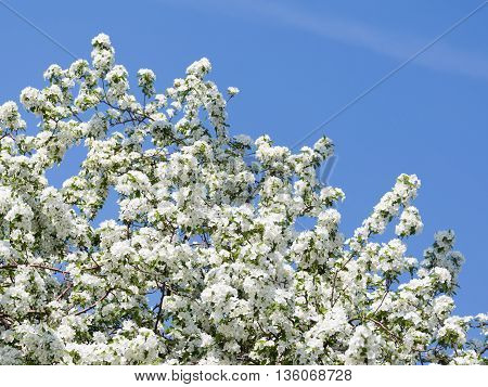 many beautiful white curvy delicate flowers on the branches of apple trees were in the early spring on a background of a bright blue spring sky in the garden