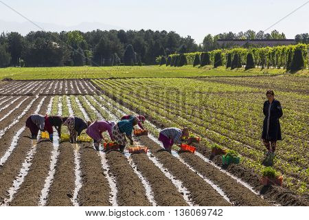 SAMARKAND, UZBEKISTAN - MAY 19, 2016: Women plant onions in the field, outside of Samarkand in Uzbekistan.